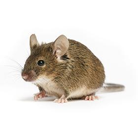 Desratização - Eliminação Ratos